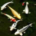 日本の国魚であるニシキゴイ、海外で爆売れ!⇒国内では右肩下がり